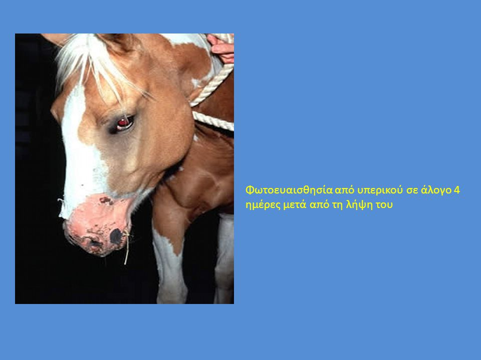 Φωτοευαισθησία από υπερικού σε άλογο 4 ημέρες μετά από τη λήψη του