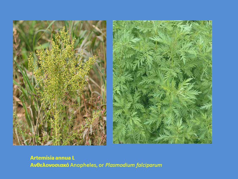 Artemisia annua L Aνθελονοσιακό Anopheles, or Plasmodium falciparum
