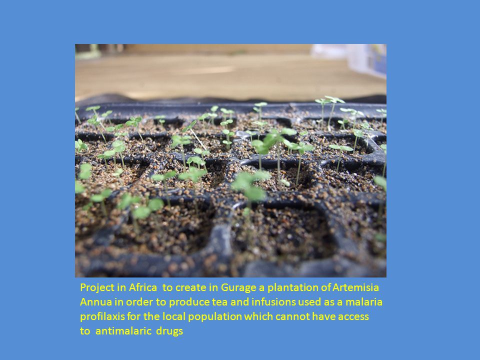 Project in Africa to create in Gurage a plantation of Artemisia Annua in order to produce tea and infusions used as a malaria profilaxis for the local population which cannot have access to antimalaric drugs