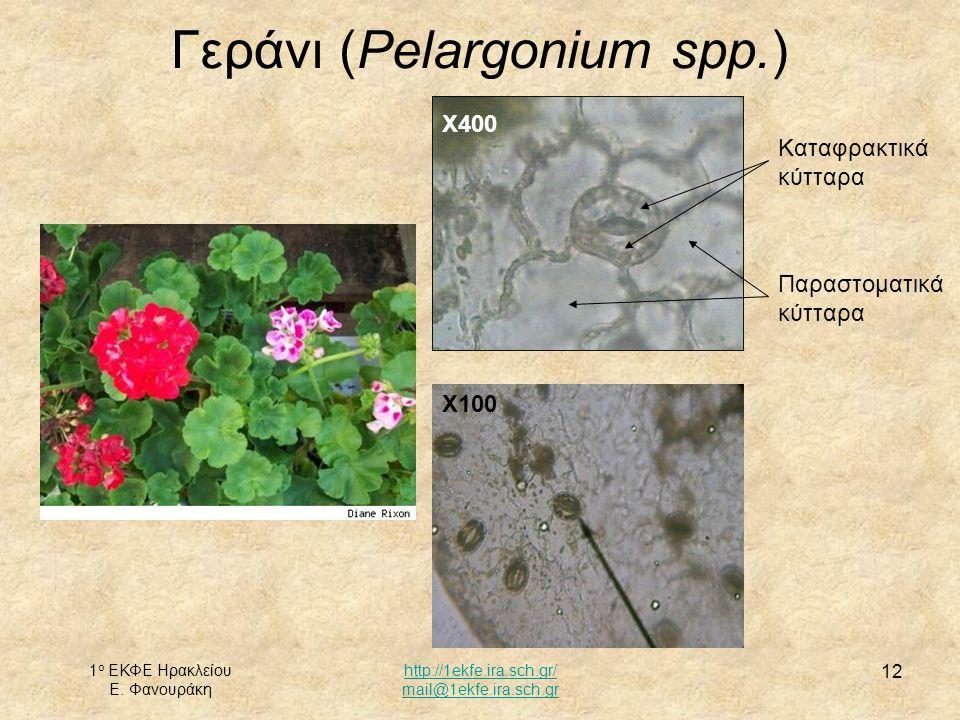 Γεράνι (Pelargonium spp.)