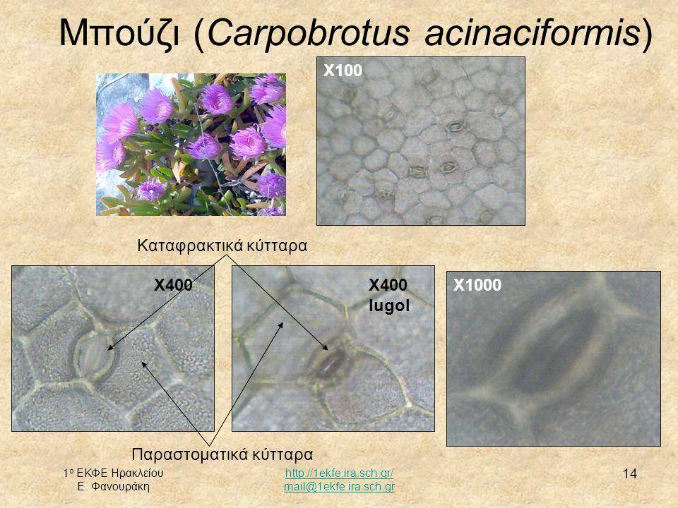 Μπούζι (Carpobrotus acinaciformis)
