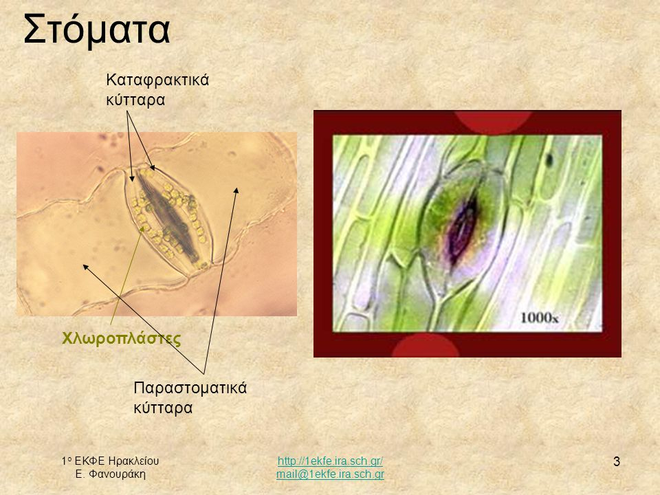 Στόματα Καταφρακτικά κύτταρα Χλωροπλάστες Παραστοματικά κύτταρα