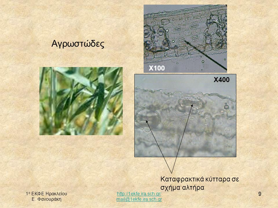 Αγρωστώδες Χ100 Χ400 Καταφρακτικά κύτταρα σε σχήμα αλτήρα
