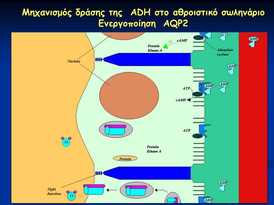 Μηχανισμός δράσης της ADH στο αθροιστικό σωληνάριο Ενεργοποίηση AQP2