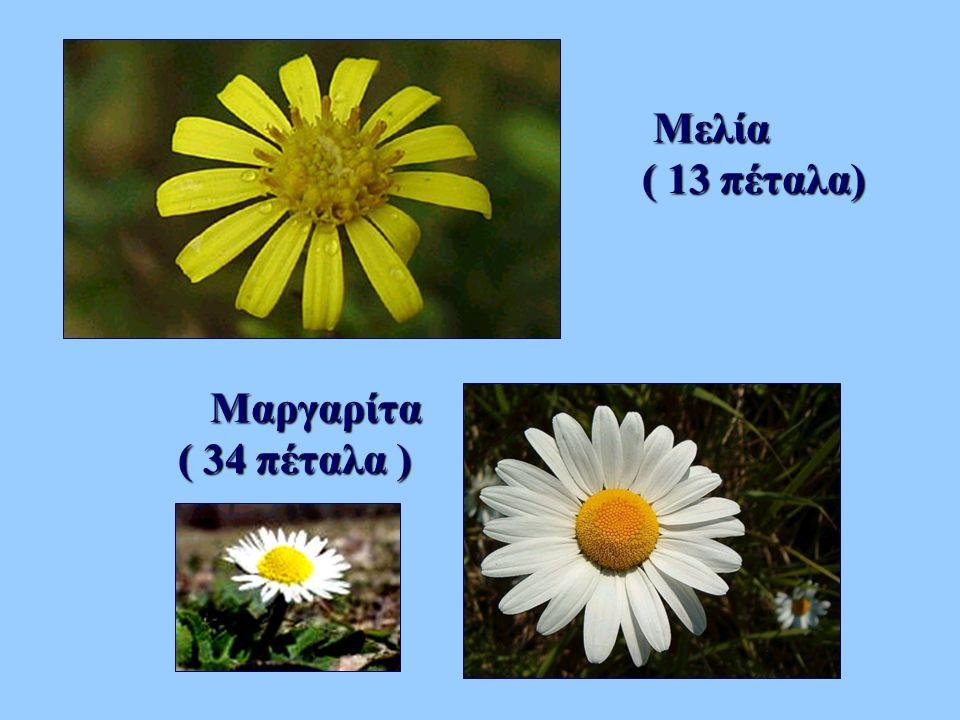 Μελία ( 13 πέταλα) Μαργαρίτα ( 34 πέταλα )