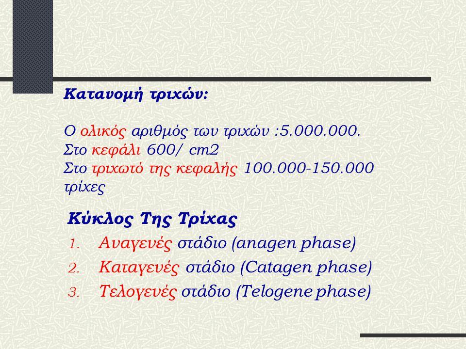 Αναγενές στάδιο (anagen phase) Καταγενές στάδιο (Catagen phase)