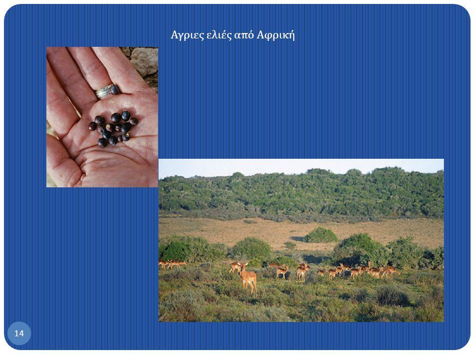Αγριες ελιές από Αφρική