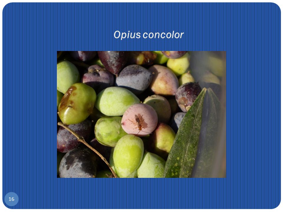Opius concolor