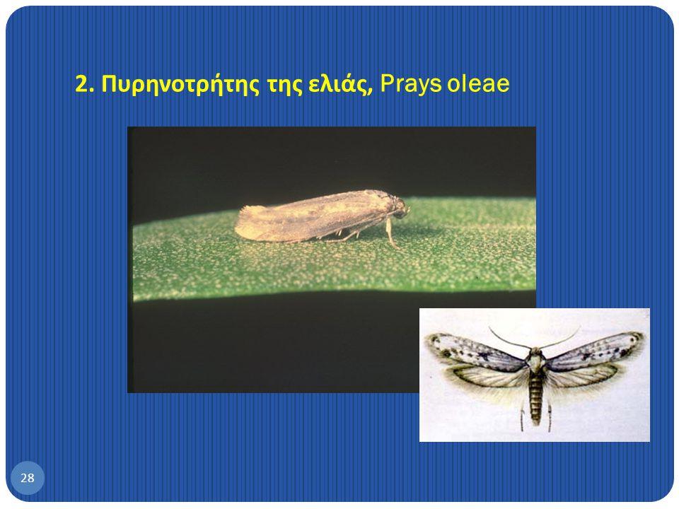 2. Πυρηνοτρήτης της ελιάς, Prays oleae