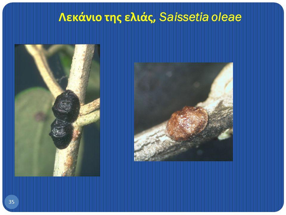 Λεκάνιο της ελιάς, Saissetia oleae