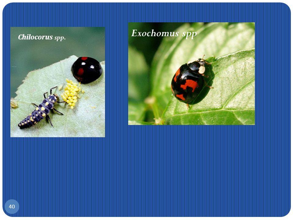Exochomus spp Chilocorus spp.
