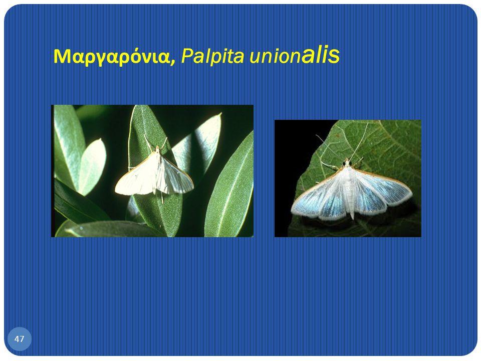 Μαργαρόνια, Palpita unionalis