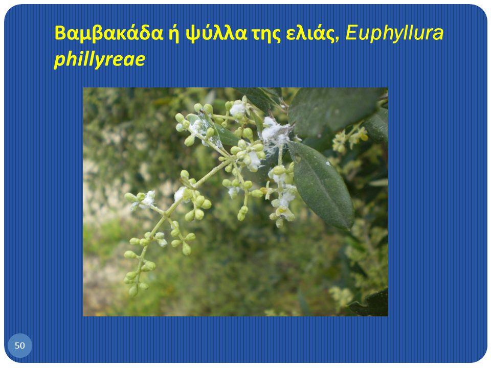 Βαμβακάδα ή ψύλλα της ελιάς, Euphyllura phillyreae