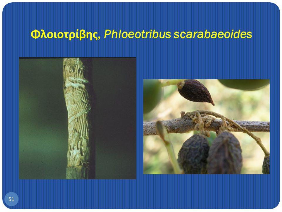 Φλοιοτρίβης, Phloeotribus scarabaeoides