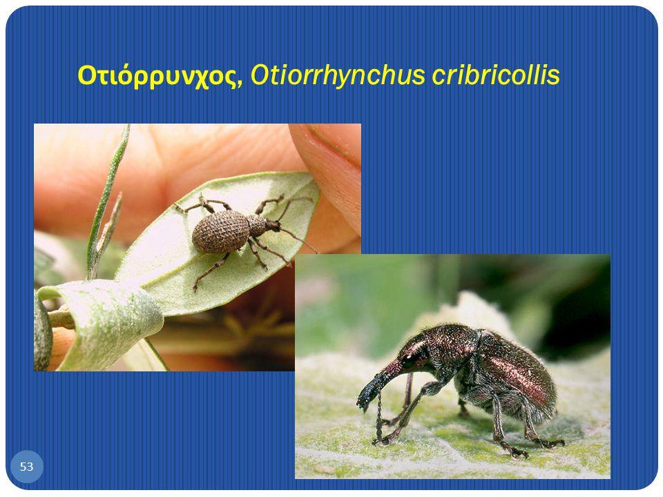 Οτιόρρυνχος, Otiorrhynchus cribricollis