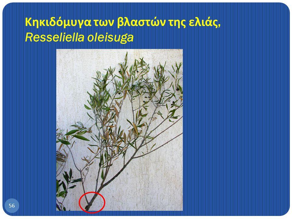 Κηκιδόμυγα των βλαστών της ελιάς, Resseliella oleisuga