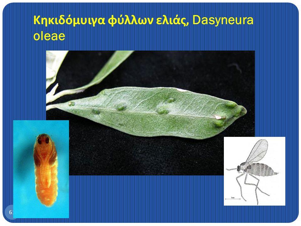 Κηκιδόμυιγα φύλλων ελιάς, Dasyneura oleae
