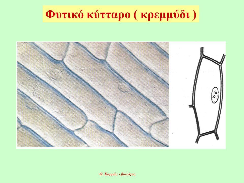Φυτικό κύτταρο ( κρεμμύδι )
