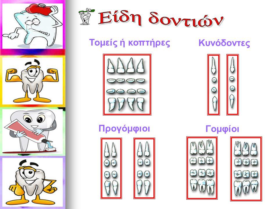 Είδη δοντιών Τομείς ή κοπτήρες Κυνόδοντες Προγόμφιοι Γομφίοι