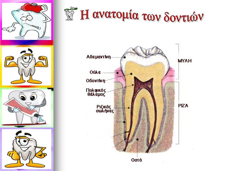 Η ανατομία των δοντιών