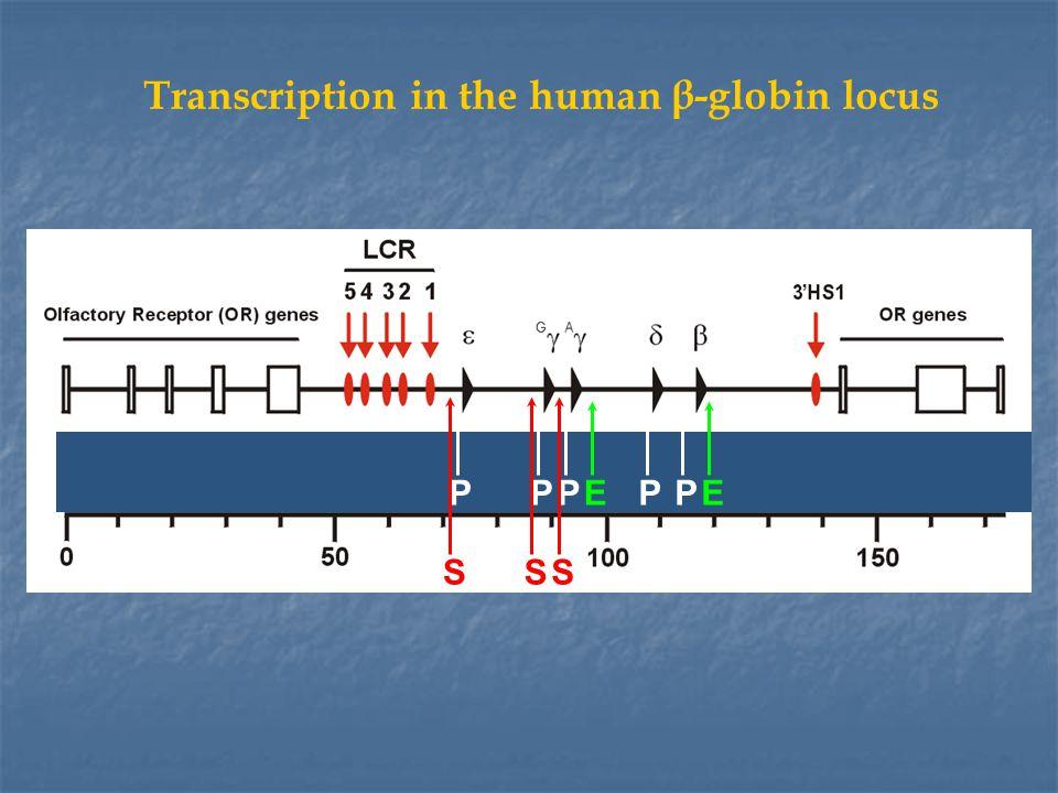 Transcription in the human β-globin locus