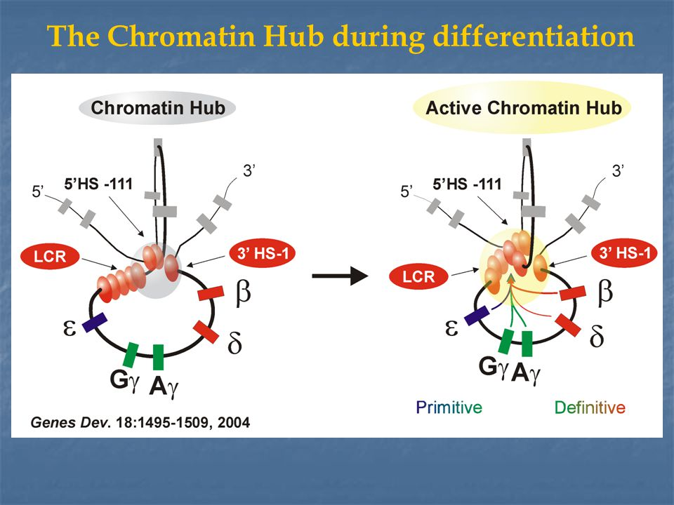 The Chromatin Hub during differentiation