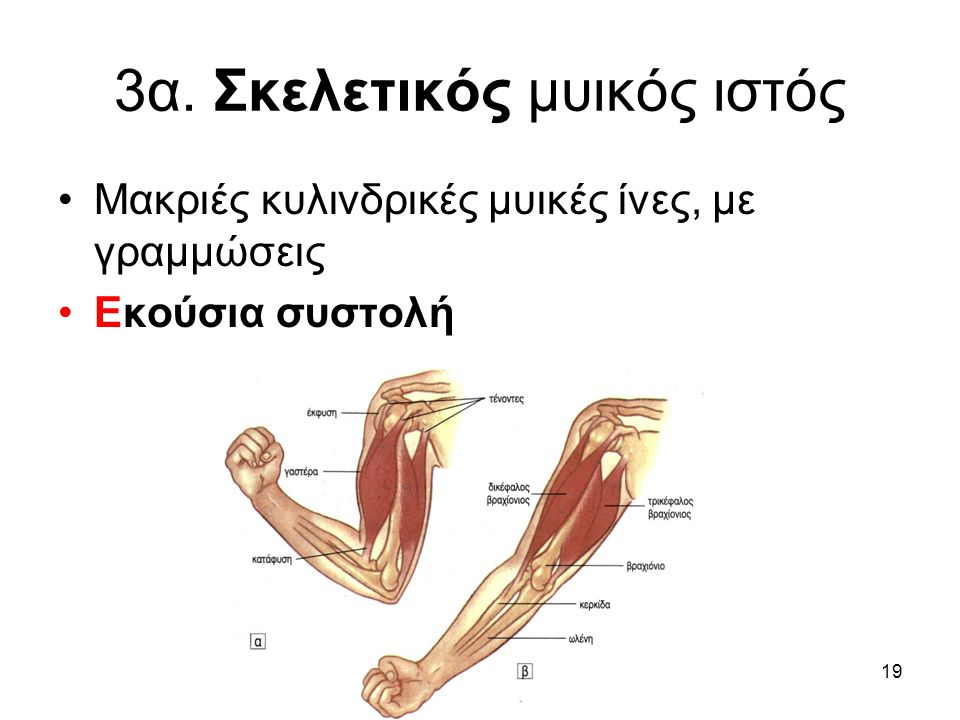 3α. Σκελετικός μυικός ιστός