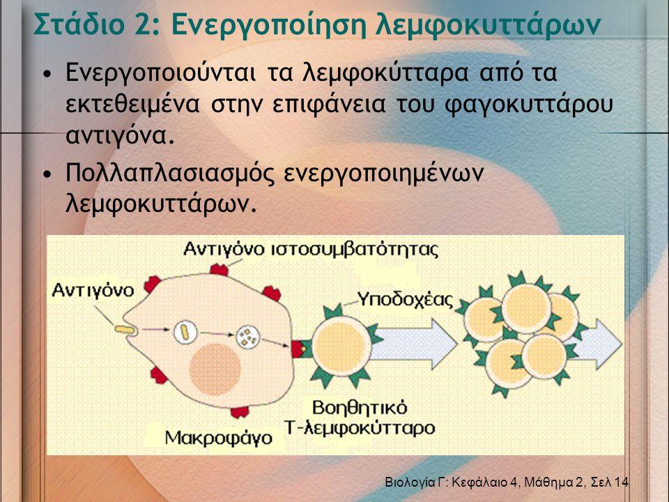 Στάδιο 2: Ενεργοποίηση λεμφοκυττάρων