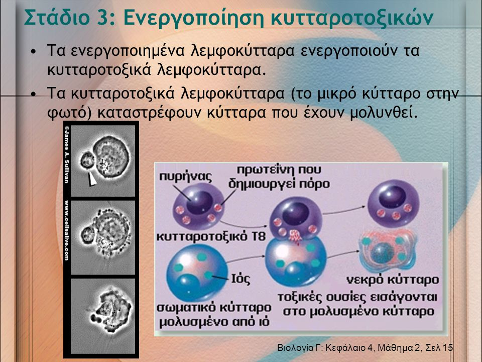 Στάδιο 3: Ενεργοποίηση κυτταροτοξικών