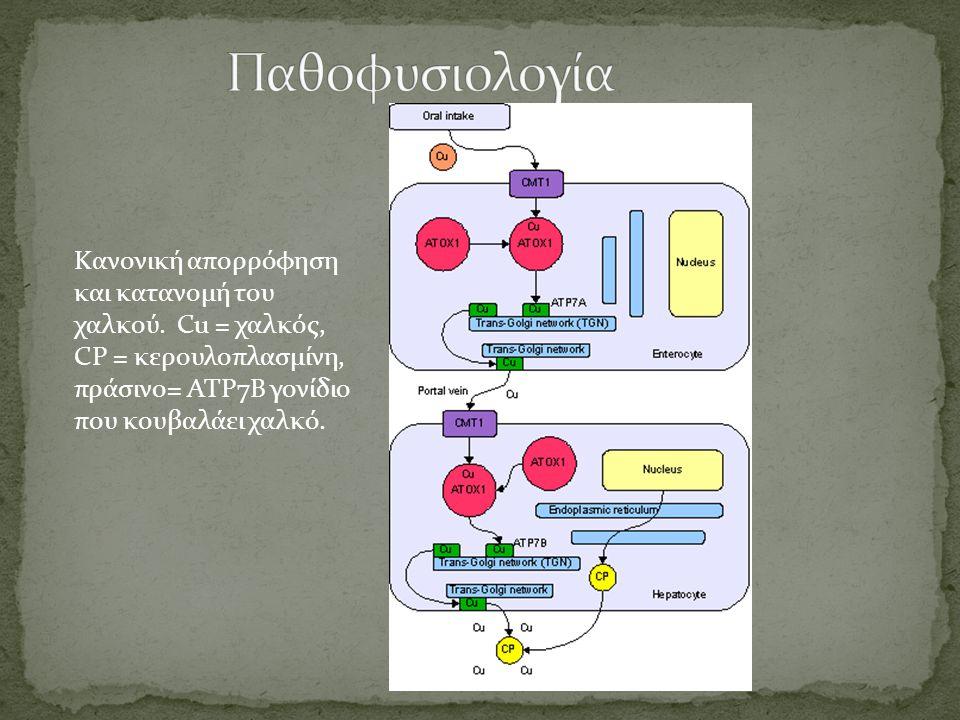 Παθοφυσιολογία Κανονική απορρόφηση και κατανομή του χαλκού.