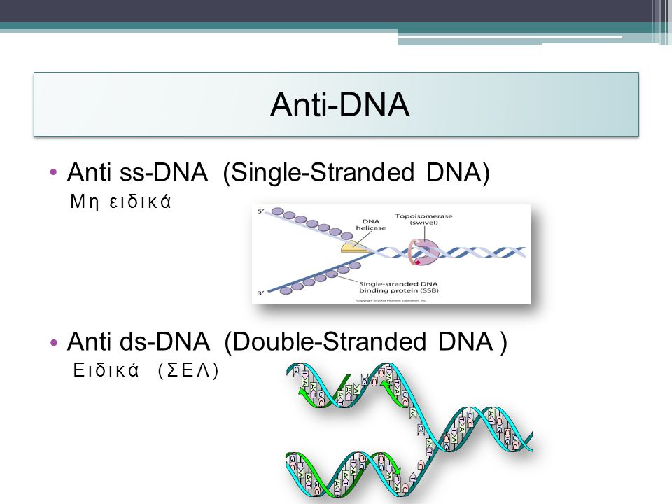 Anti-DΝΑ Anti ss-DNA (Single-Stranded DNA)