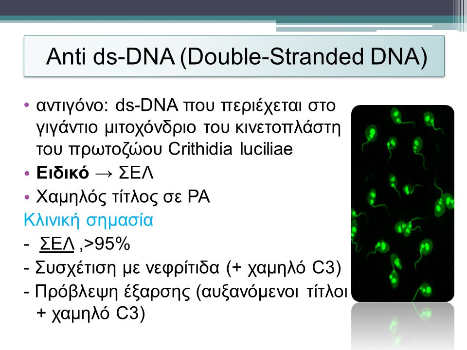 Anti ds-DNΑ (Double-Stranded DNA)