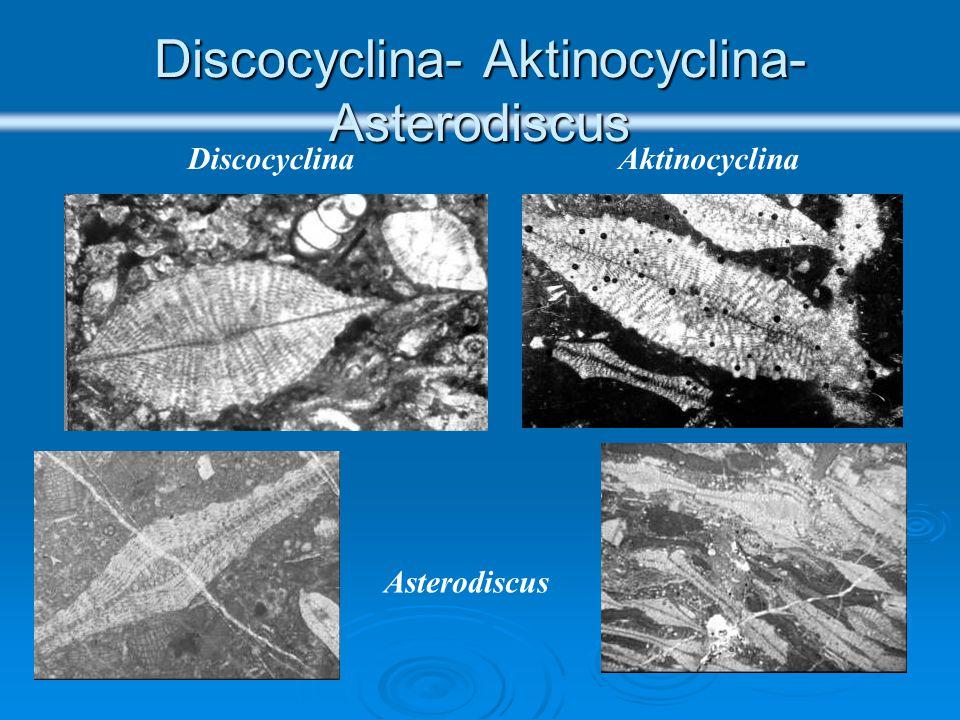 Discocyclina- Aktinocyclina- Asterodiscus