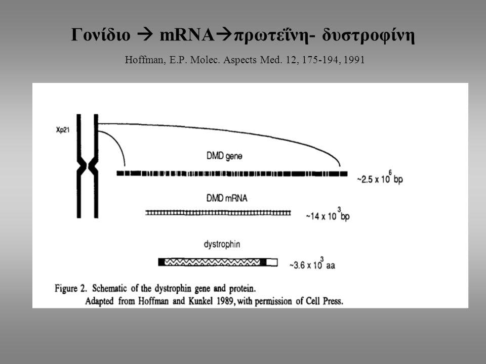 Γονίδιο  mRNAπρωτεΐνη- δυστροφίνη Hoffman, E. P. Molec. Aspects Med