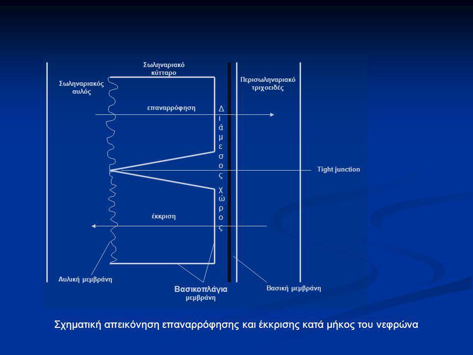 Περισωληναριακό τριχοειδές Βασικοπλάγια μεμβράνη