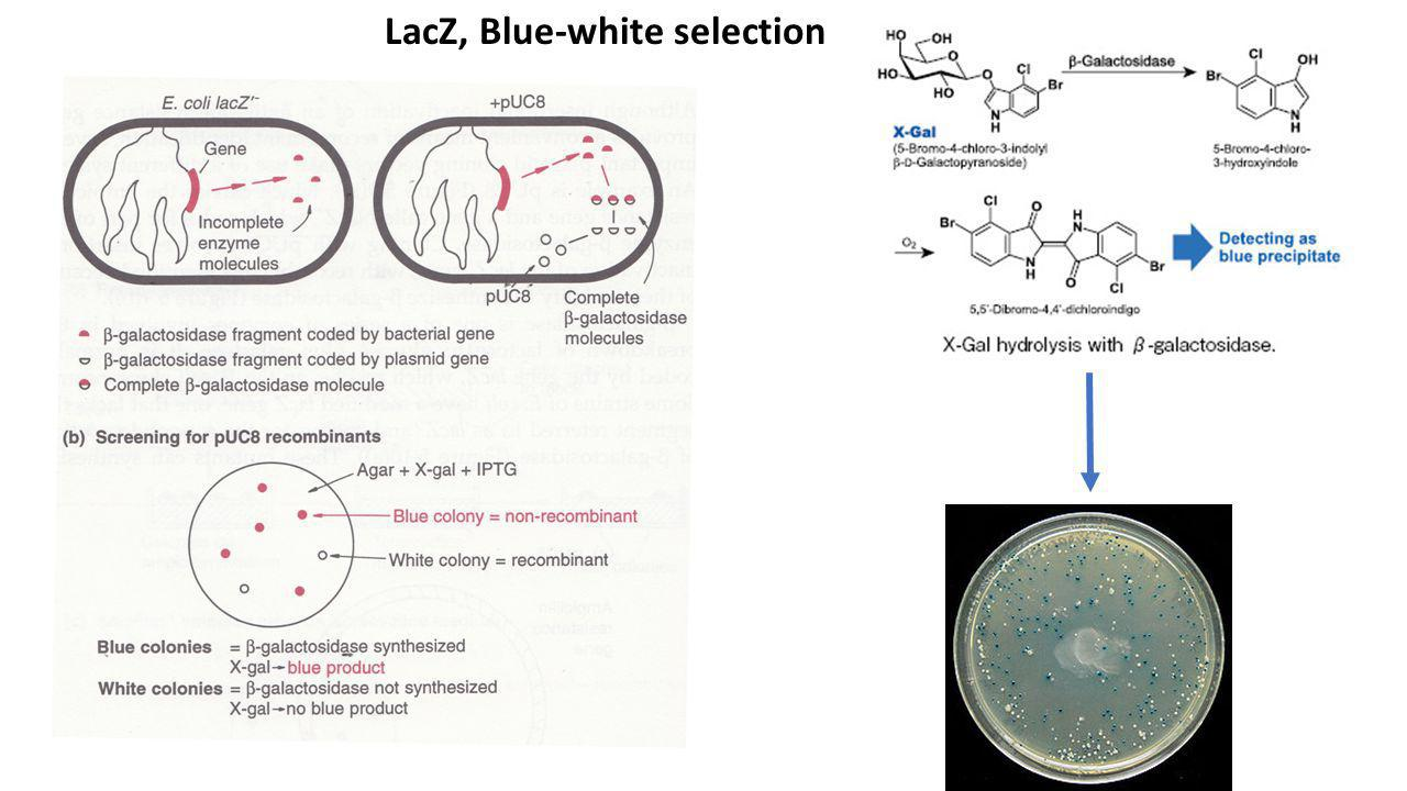 LacZ, Blue-white selection