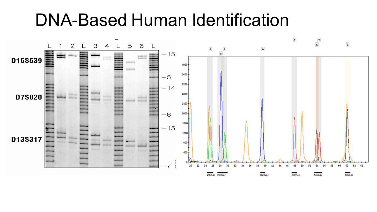 DNA-Based Human Identification