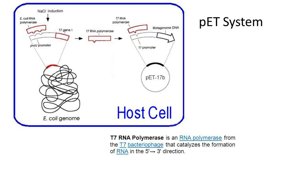 pET System T7 RNA Polymerase is an RNA polymerase from the T7 bacteriophage that catalyzes the formation of RNA in the 5 → 3 direction.
