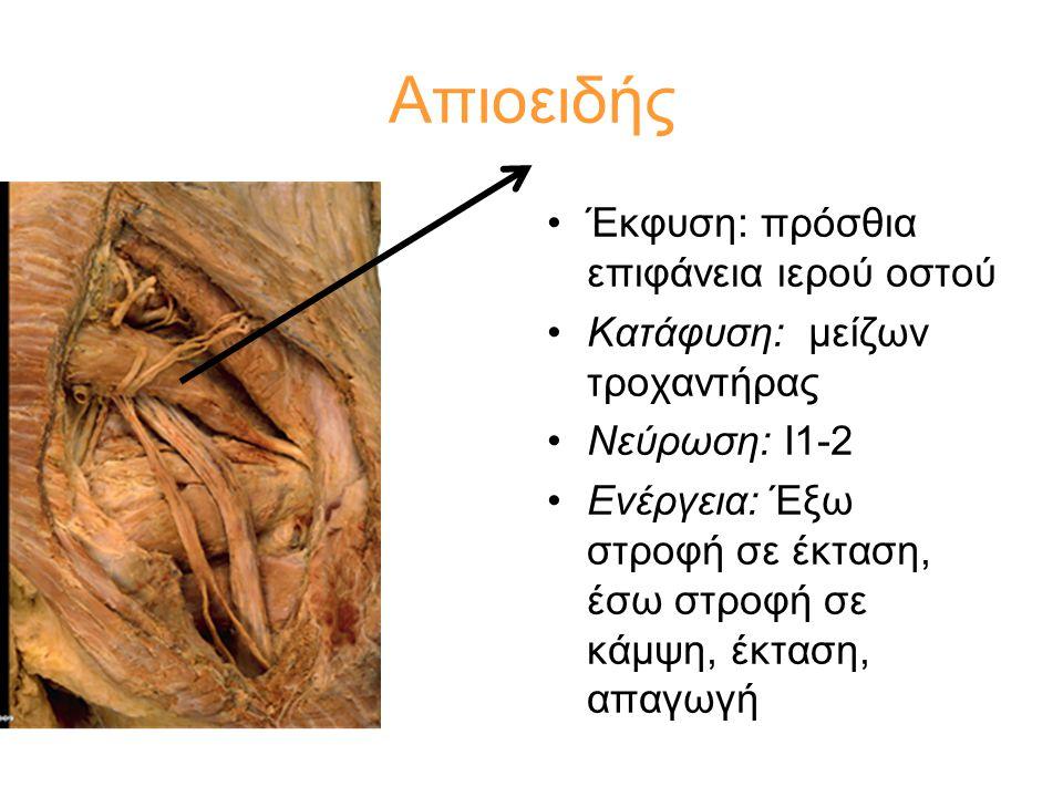 Απιοειδής Έκφυση: πρόσθια επιφάνεια ιερού οστού