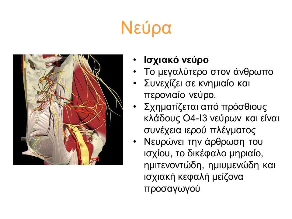 Νεύρα Ισχιακό νεύρο Το μεγαλύτερο στον άνθρωπο