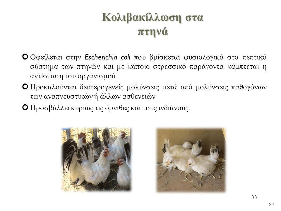 Κολιβακίλλωση στα πτηνά