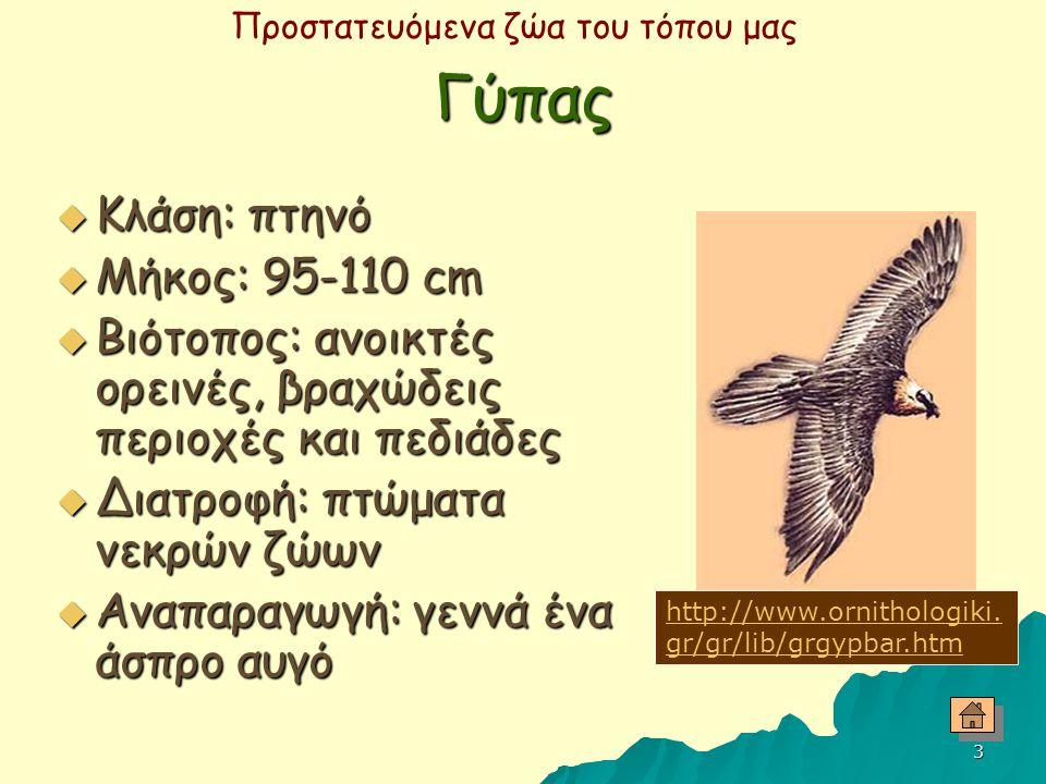 Γύπας Κλάση: πτηνό Μήκος: 95-110 cm