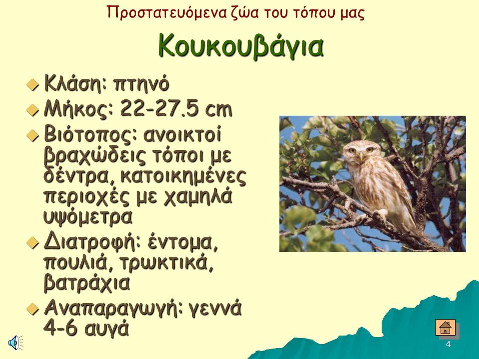 Κουκουβάγια Κλάση: πτηνό Μήκος: 22-27.5 cm