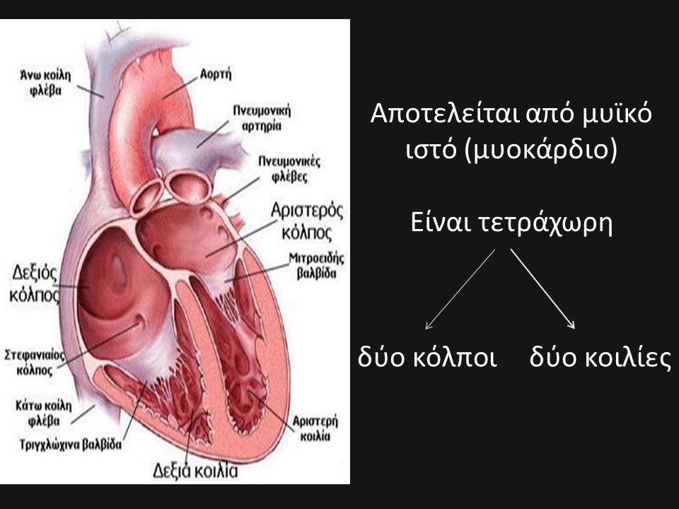 Αποτελείται από μυϊκό ιστό (μυοκάρδιο) Είναι τετράχωρη