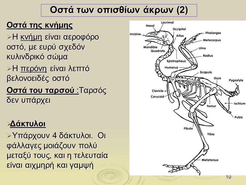Οστά των οπισθίων άκρων (2)