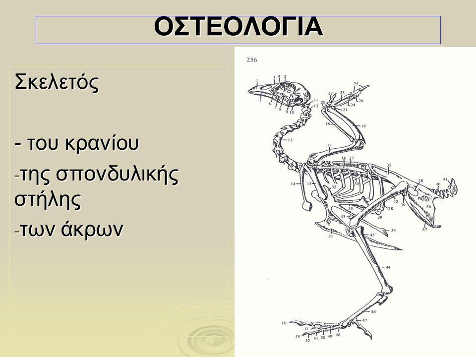 Σκελετός - του κρανίου της σπονδυλικής στήλης των άκρων