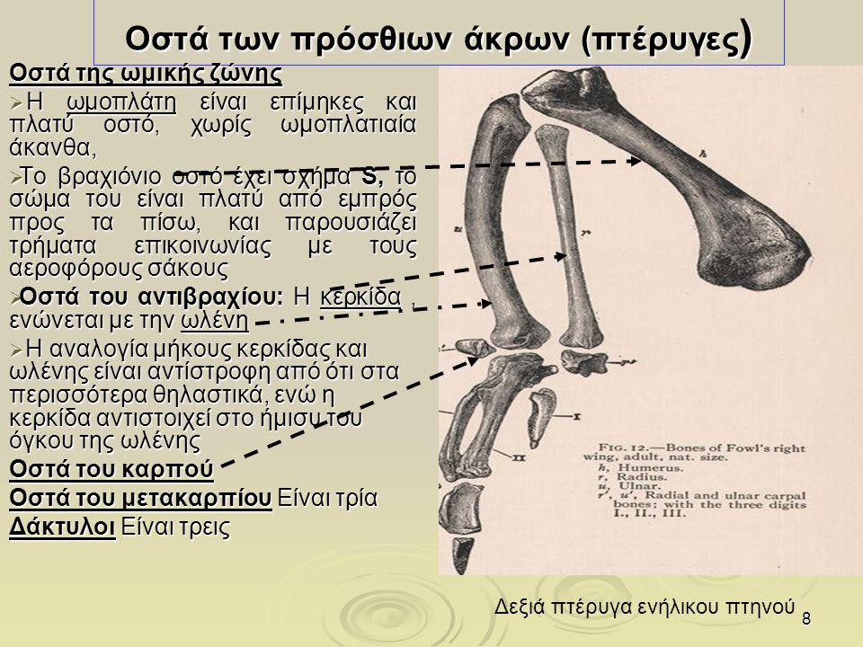 Οστά των πρόσθιων άκρων (πτέρυγες)