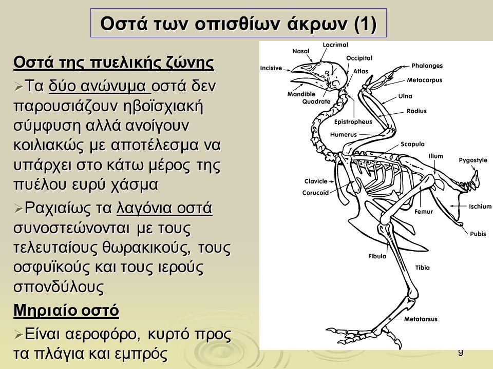 Οστά των οπισθίων άκρων (1)
