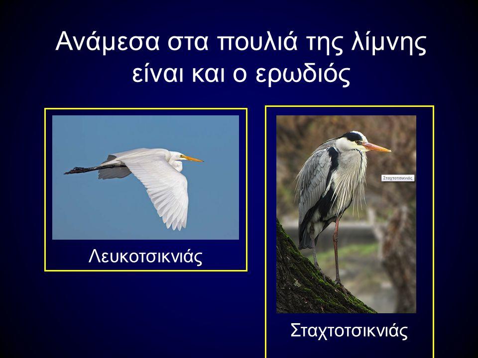 Ανάμεσα στα πουλιά της λίμνης είναι και ο ερωδιός