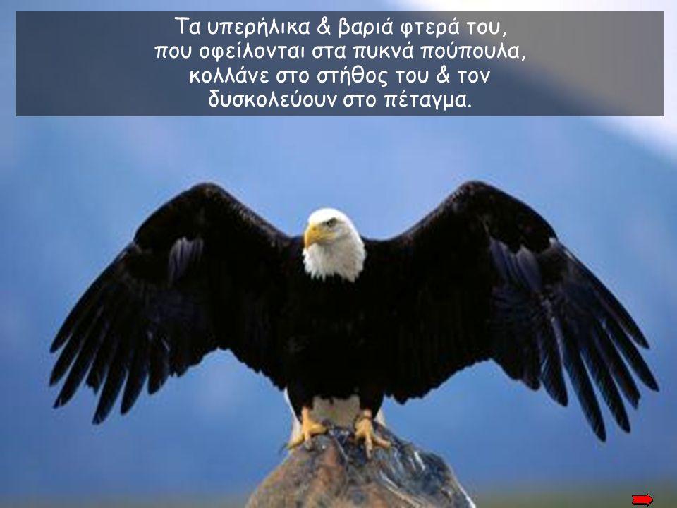 Τα υπερήλικα & βαριά φτερά του, που οφείλονται στα πυκνά πούπουλα,